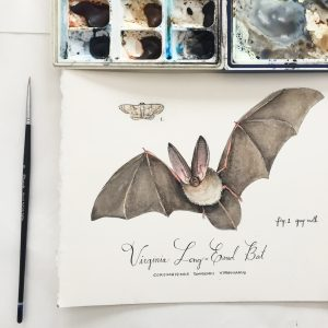 Virginia Long Eared Bat